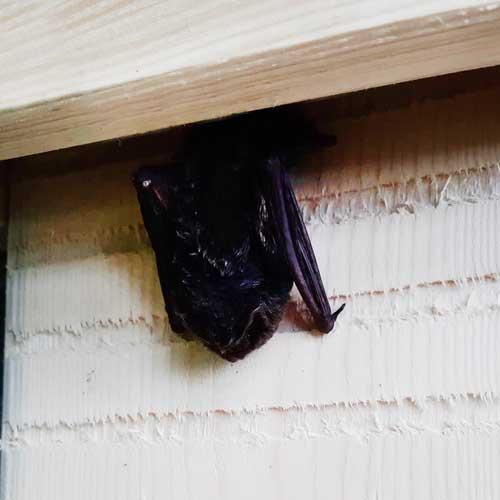 Fledermausmonat Fledermaus zieht in Fledermauskasten ein